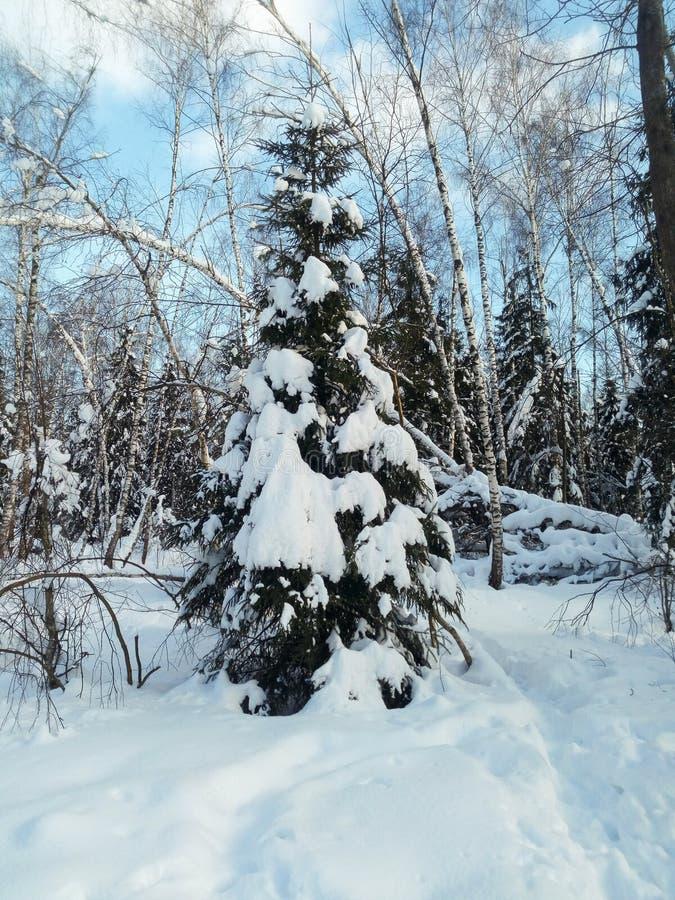 Mroźny pogodny zima dzień w śnieżnej wsi Młody jedlinowy drzewo pod obfitym śnieżnym nakryciem zdjęcie royalty free