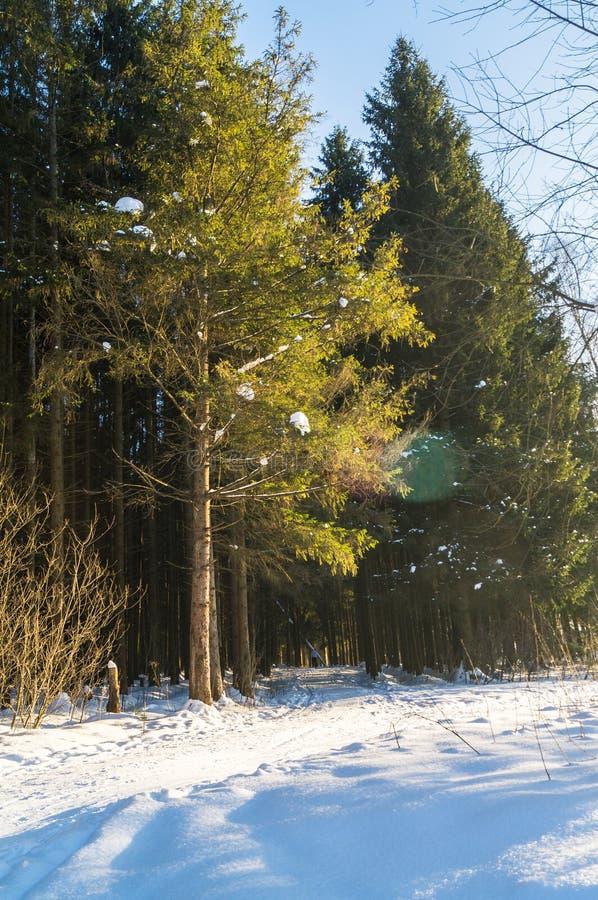 Mroźny pogodny zima dzień w iglastym lesie obraz stock