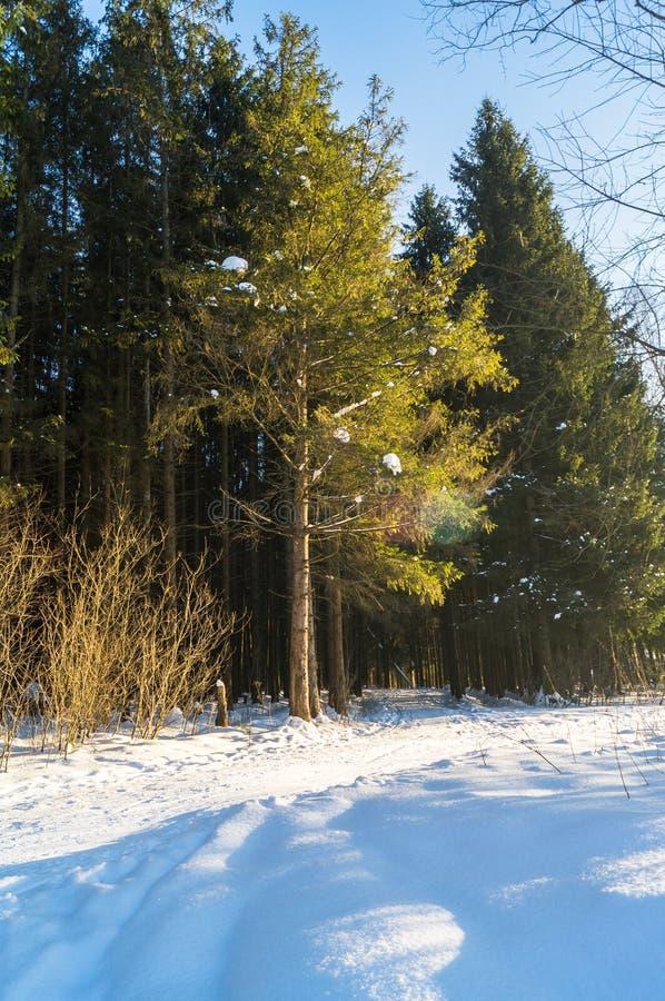 Mroźny pogodny zima dzień w iglastym lesie obraz royalty free