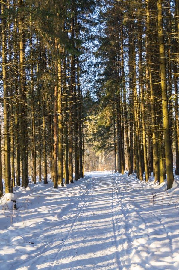 Mroźny pogodny zima dzień w iglastym lesie zdjęcie royalty free