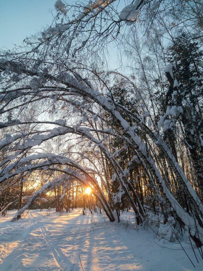 Mroźny pogodny zima wieczór w śnieżnej wsi Ciency bagażniki młodzi drzewa bended pod obfitym śnieżnym nakryciem zdjęcie royalty free
