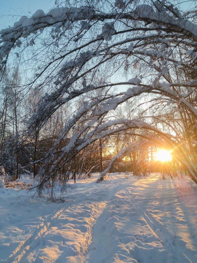 Mroźny pogodny zima wieczór w śnieżnej wsi Ciency bagażniki młodzi drzewa bended pod obfitym śnieżnym nakryciem zdjęcia royalty free