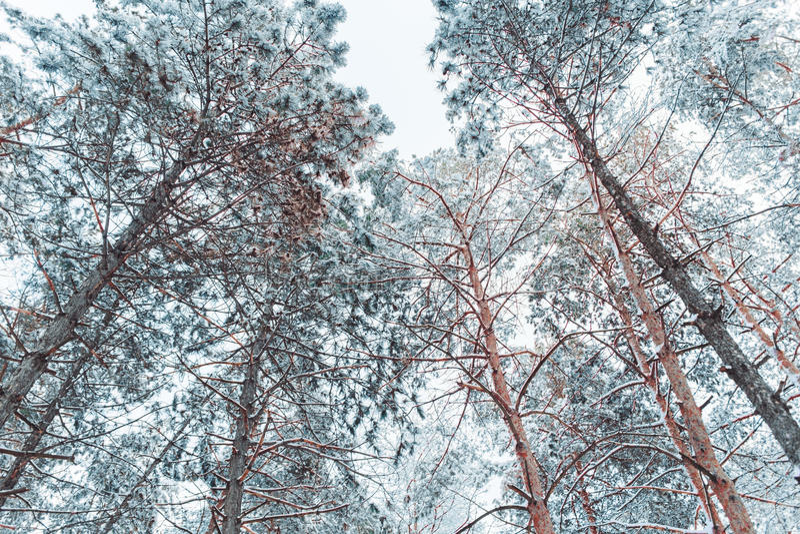 Mroźny zima krajobraz w śnieżnych lasowych sosen gałąź zakrywać z śniegiem w zimnej pogodzie Bożenarodzeniowy tło z jedlinowymi d obrazy stock