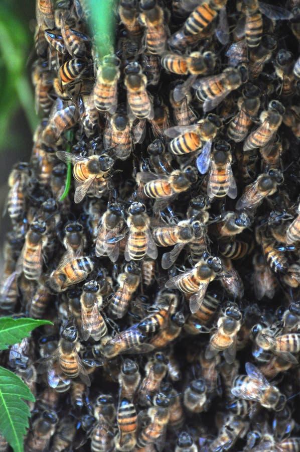 Mrowie pszczoły obraz royalty free