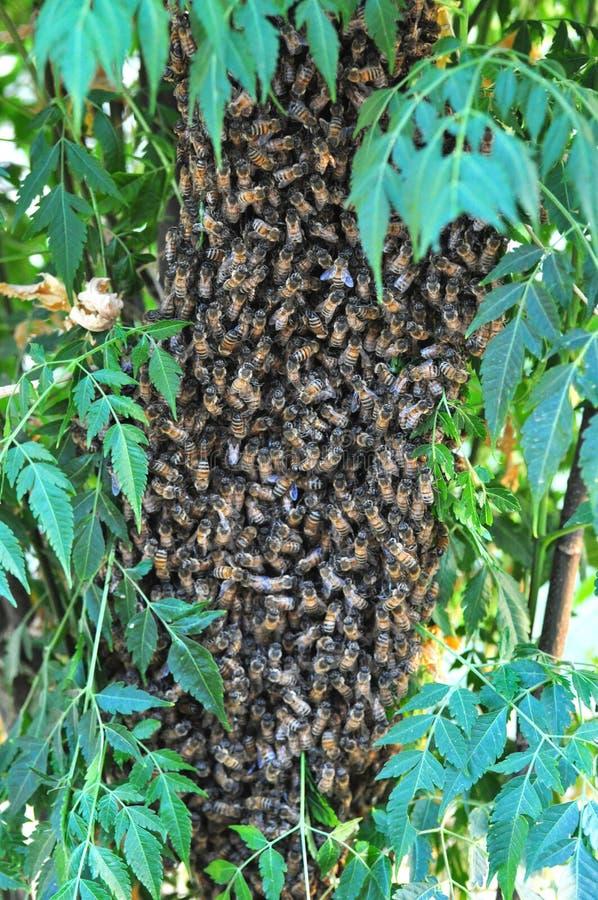 Mrowie pszczoły gromadził się na drzewnym chronieniu ich królowej fotografia royalty free
