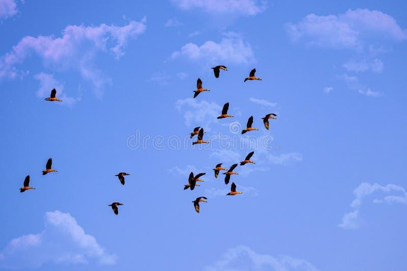 Mrowie ptaki na niebieskim niebie, chmury, piękno natura obraz royalty free