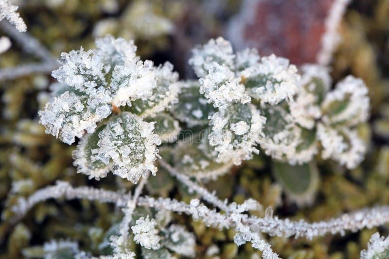 Mrozowi i Lodowi kryształy na Brusznicowej roślinie zdjęcia stock