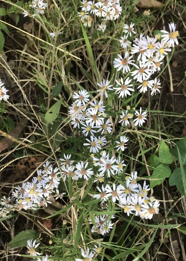 Mrozowy asteru kwiat zdjęcie stock