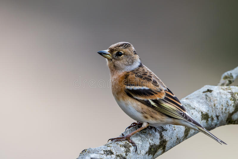 Mrs Brambling obrazy stock