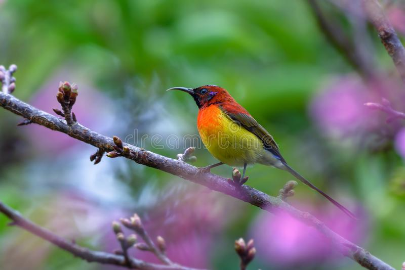 Mrs. Gould`s Sunbird or Aethopyga gouldiae, red bird perching on. Mrs. Gould`s Sunbird or Aethopyga gouldiae, beautiful red bird perching on branch with green royalty free stock photography