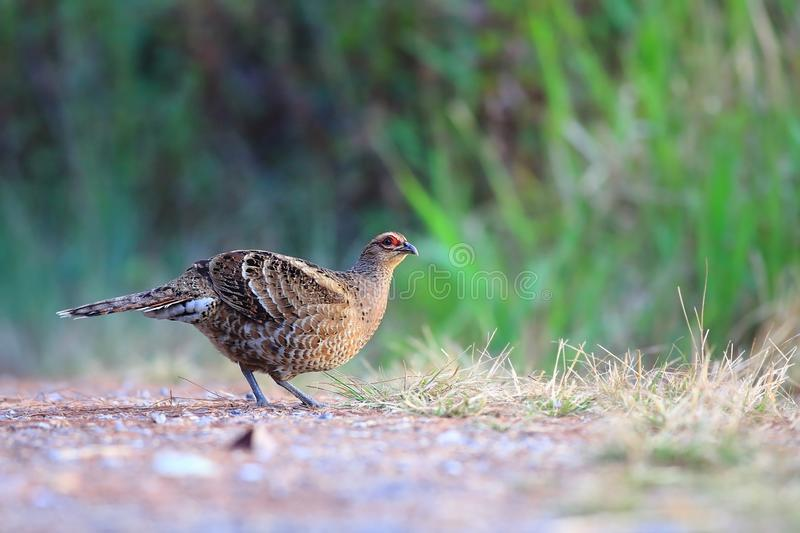 Mrs. Hume`s Pheasant: Syrmaticus humiae royalty free stock photo