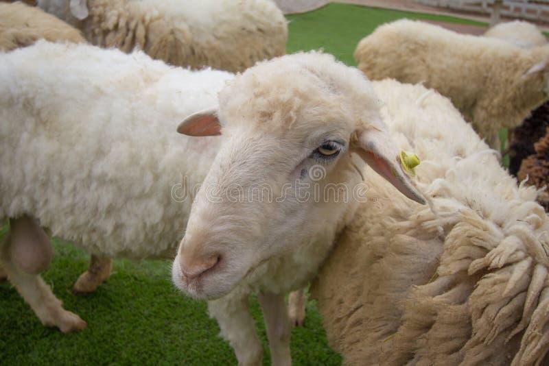 Mrs Sheep. Beautiful in Thailand stock photo