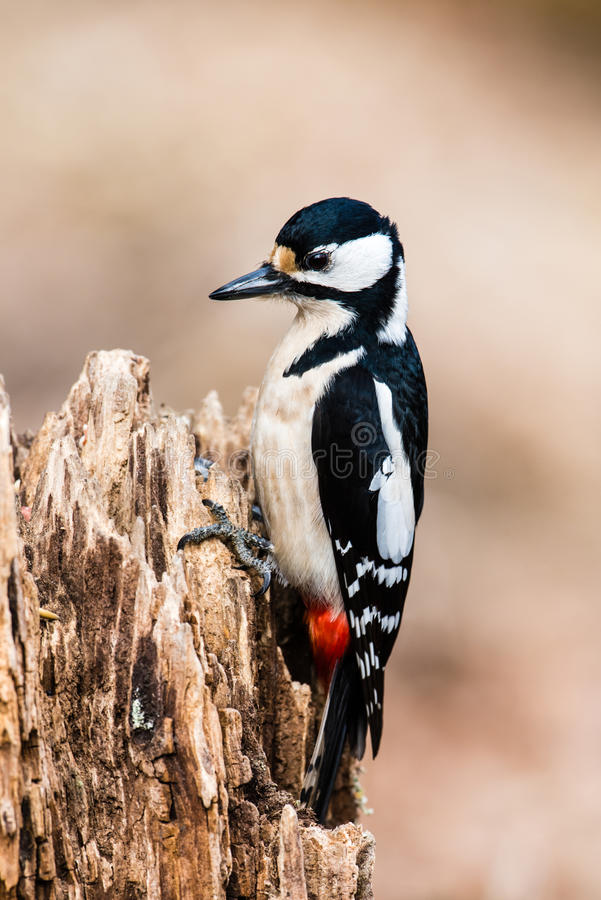 Mrs Woodpecker. The female Great Spotted Woodpecker (Dendrocopos major) choosing the best meal in the stub stock image