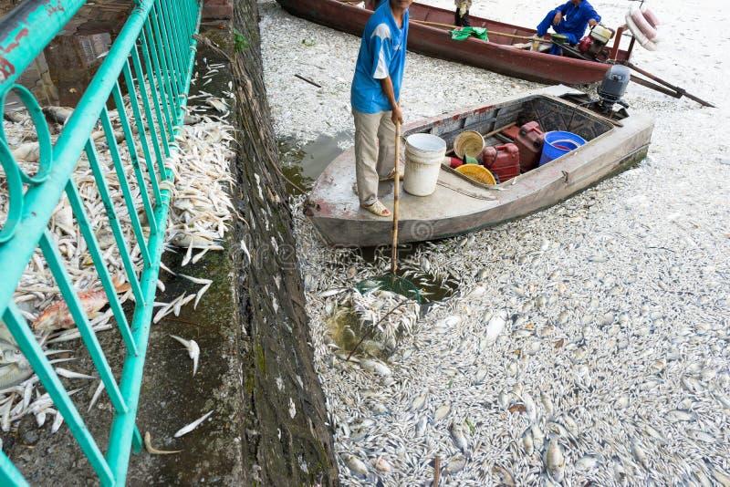 Mszalna śmierć rybi unosić się na zanieczyszczającej jezioro wodzie z łodzią atemping brać nieboszczyk ryba z wody obraz royalty free