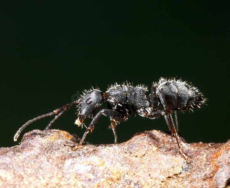 mszyca mrówki. zdjęcia royalty free