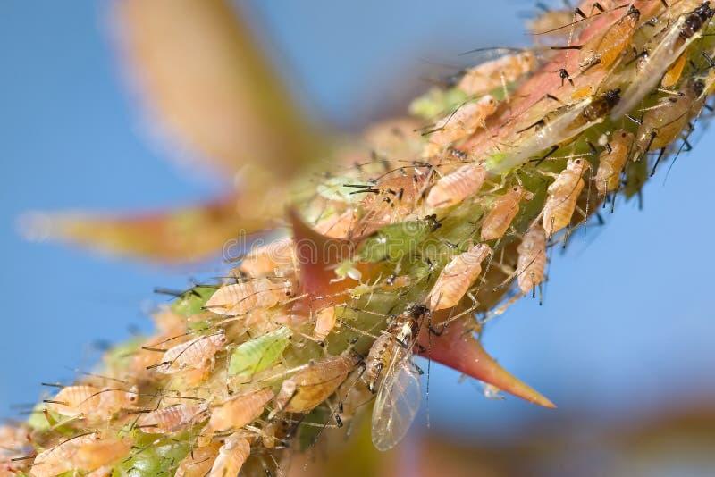 mszyce rozgałęziają się zwiększyły owadów zdjęcia royalty free