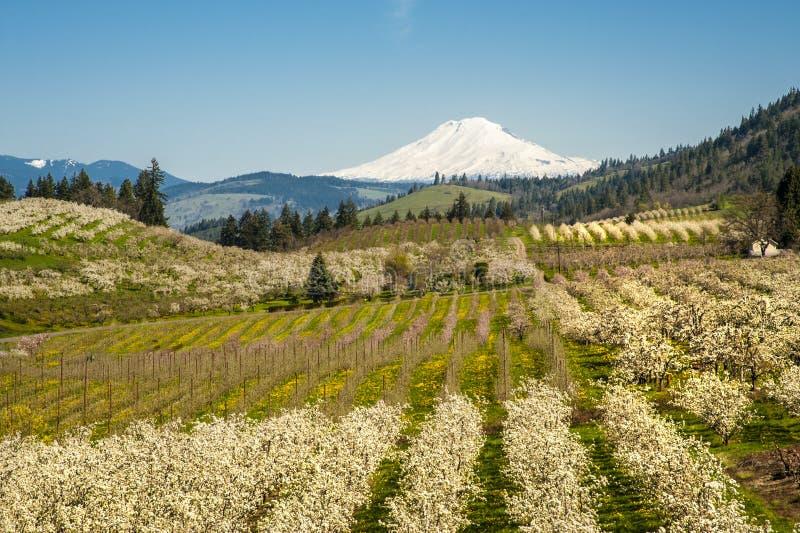 Download Mt Adams, Apple Orchards, Oregon Stock Photo - Image: 29606560