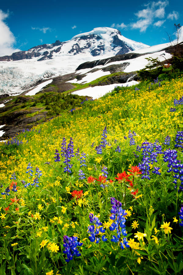 Mt. Baker and Wildflowers. Heliotrope Ridge Wildflowers. During the month of August on the slopes of Mt. Baker, Washington, the wildflowers come out in full stock photo