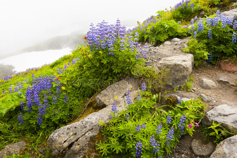 Mt. Baker Wildflowers photographie stock