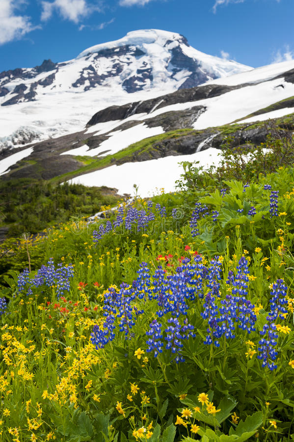 Mt. Baker Wildflowers. Beautiful wildflowers such as yellow asters, purple lupine, and Indian paintbrush, dominate the landscape on the Heliotrope Ridge hike royalty free stock photography