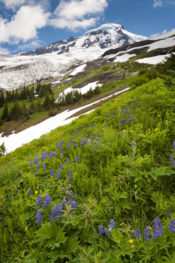 Download Mt. Baker Wildflowers stock photo. Image of cascades - 39506496
