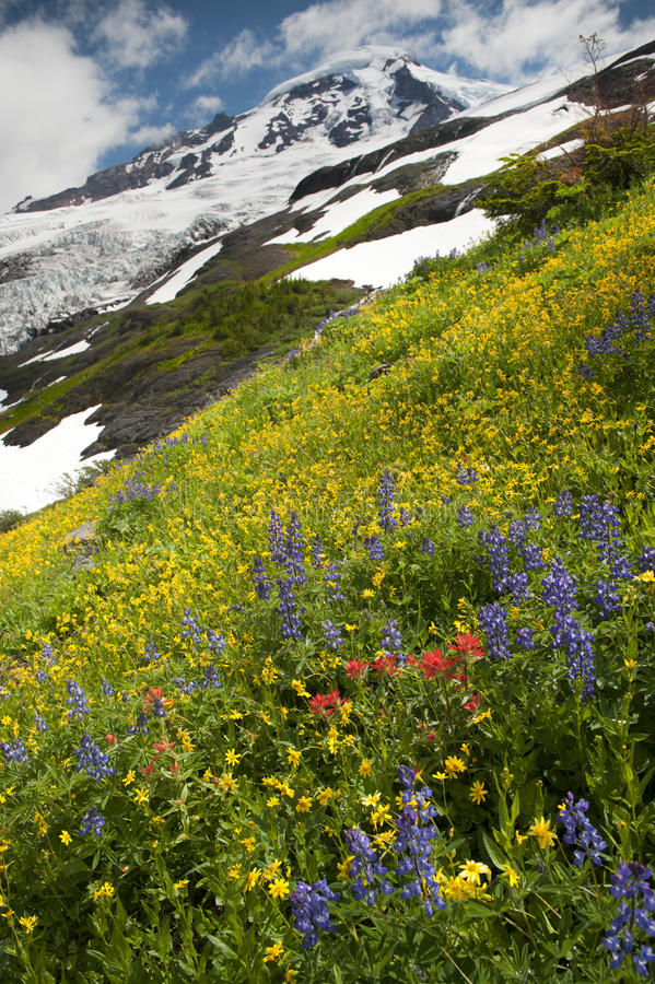 Download Mt. Baker Wildflowers stock image. Image of flower, mountain - 39506739