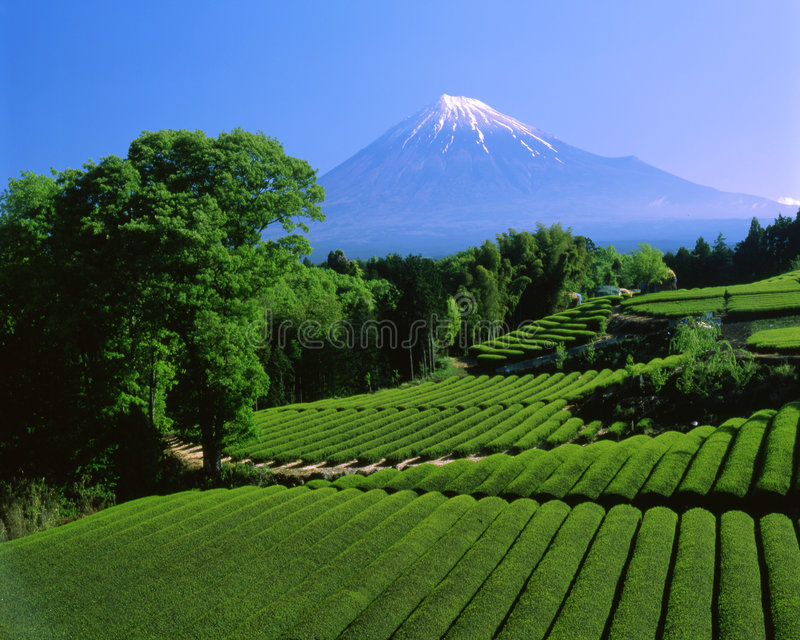 Mt fuji-443. Terraced green tea fields with snow-capped Mount Fuji stock photo