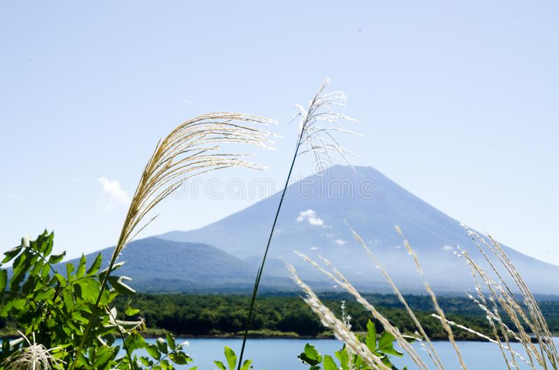 Mt Fuji med japansk pampasgräs i höst, Japan royaltyfri bild