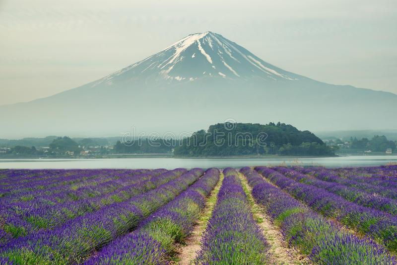 Mt.fuji and purple color of lavender at lake Kawaguchiko royalty free stock images