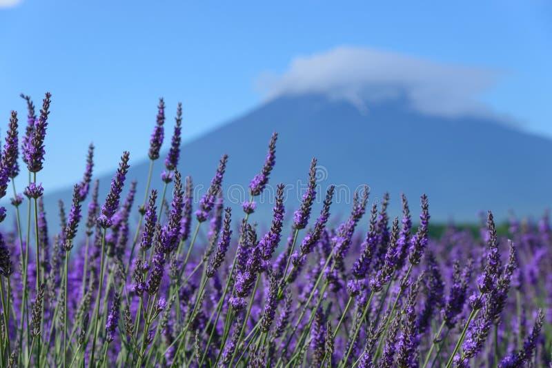 Download Mt Fuji Y Lavanda En La Orilla Del Lago De Kawaguchi Imagen de archivo - Imagen de azul, parque: 42443539