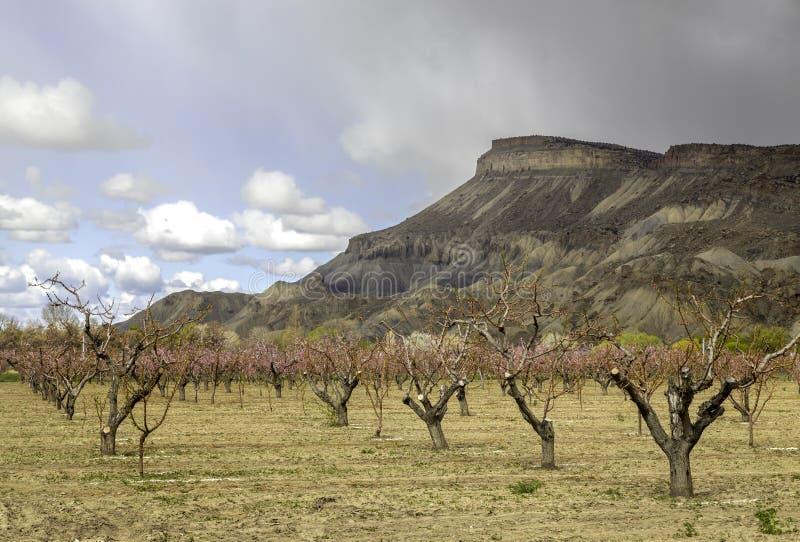 Mt Garfield y los árboles de melocotón florecientes de la palizada Colorado imágenes de archivo libres de regalías