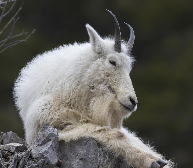 Mt. Goat on rock royalty free stock photo