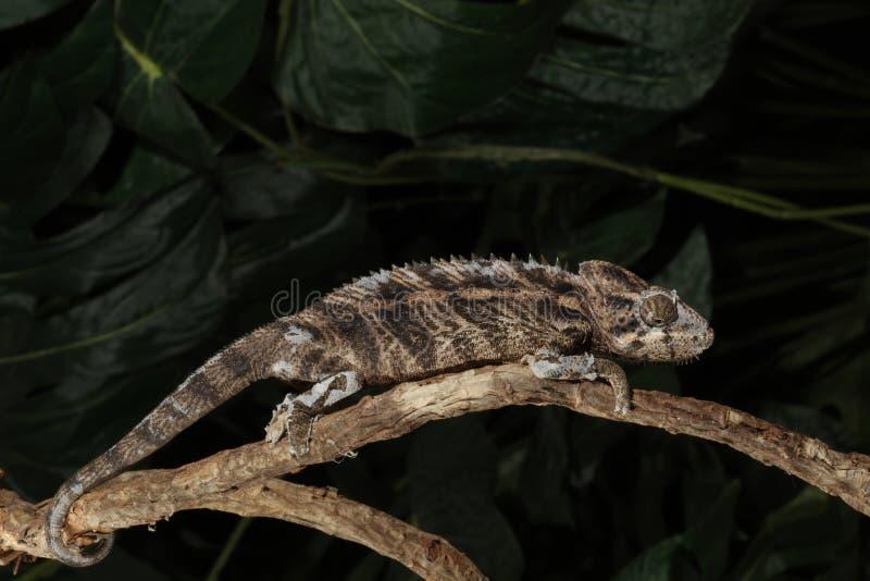Mt. het Kameleon van Kenia Jackson - Trioceros jac royalty-vrije stock foto's