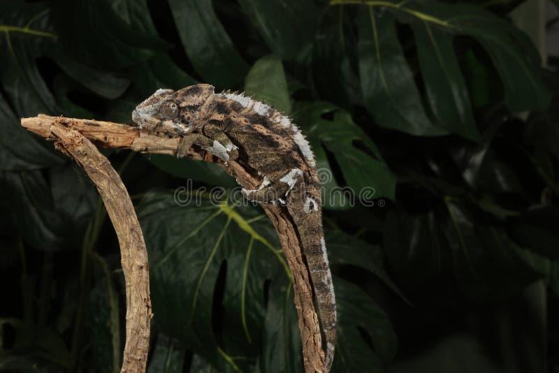 Mt. het Kameleon van Kenia Jackson - Trioceros jac stock fotografie