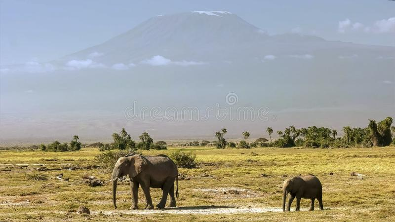 Mt kilimanjaro with an elephant cow and calf at amboseli. Mt kilimanjaro with an elephant cow and calf in the foreground at amboseli national park, kenya stock images