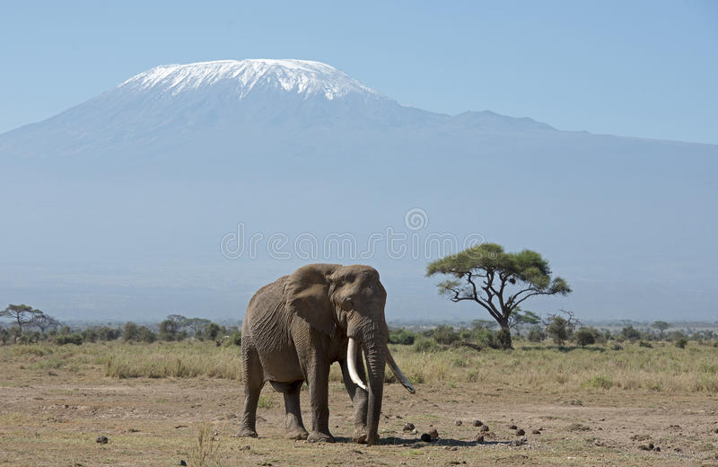 Mt Kilimanjaro with elephant. Kenya Africa Amboseli reserve Mt Kilimanjaro with elephant royalty free stock images