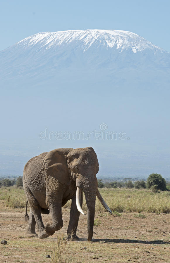 Mt Kilimanjaro and Elephant. Kenya, Africa, Amboseli reserve, Mt Kilimanjaro and Elephant royalty free stock images