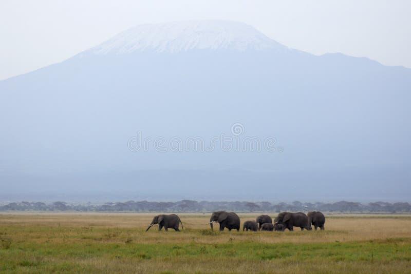 Mt. Kilimanjaro en kudde van Afrikaanse olifanten royalty-vrije stock foto's