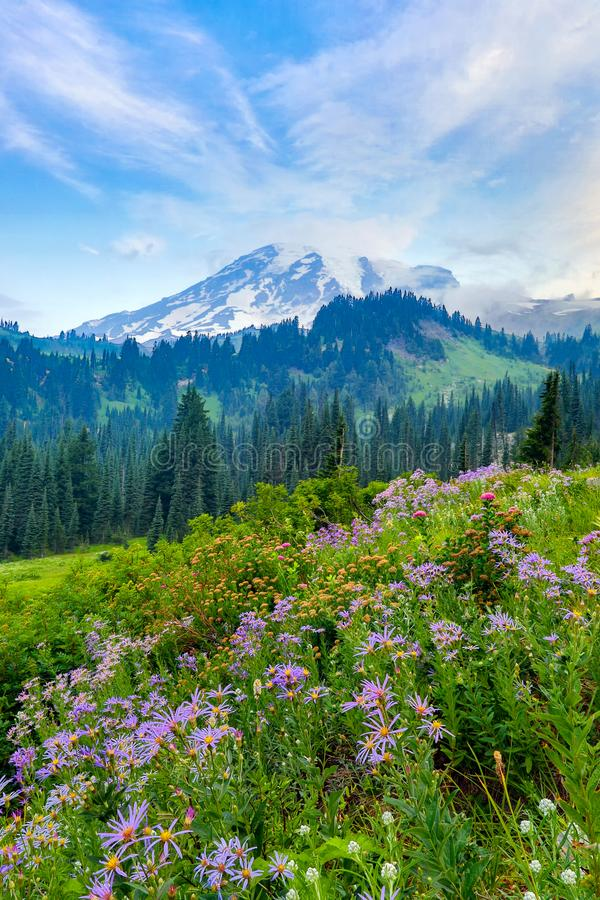 Mt Rainier and wildflowers. Summer wildflowers blooming with Mount Rainier in the background royalty free stock image