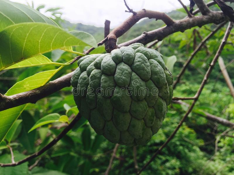 Atis Fruit royalty free stock photo