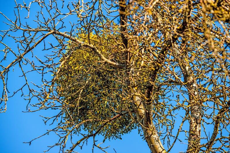 Muérdago en un árbol frutal en invierno foto de archivo libre de regalías