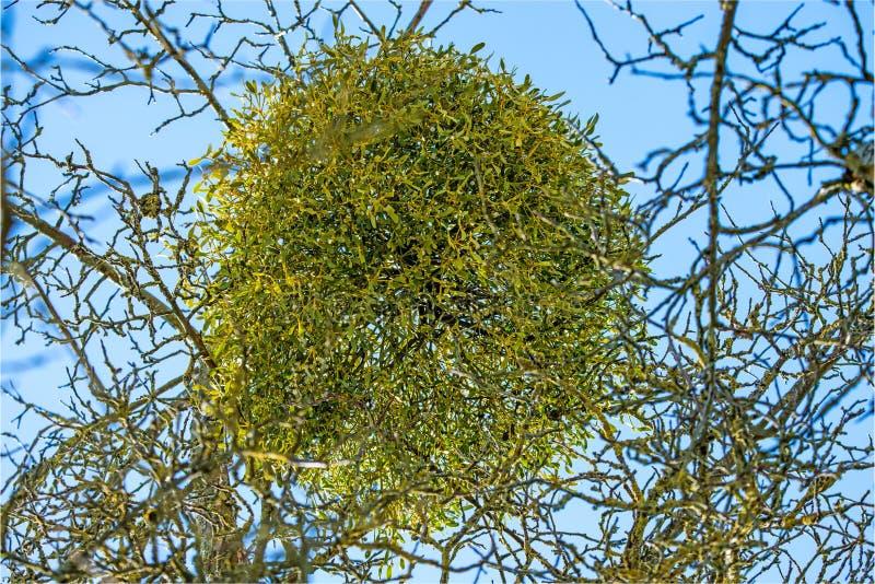 Muérdago en un árbol frutal en invierno fotos de archivo