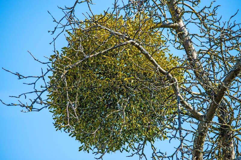 Muérdago en un árbol frutal en invierno foto de archivo