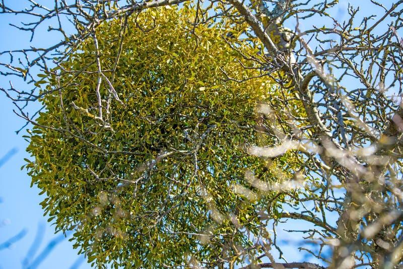 Muérdago en un árbol frutal en invierno imagen de archivo