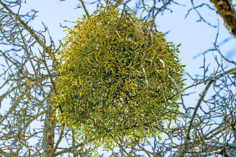 Muérdago en un árbol frutal en invierno imagen de archivo libre de regalías
