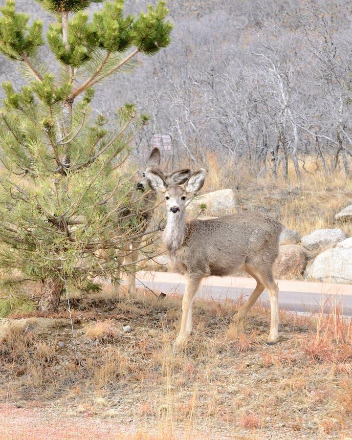 muła jeleni roczniak fotografia royalty free
