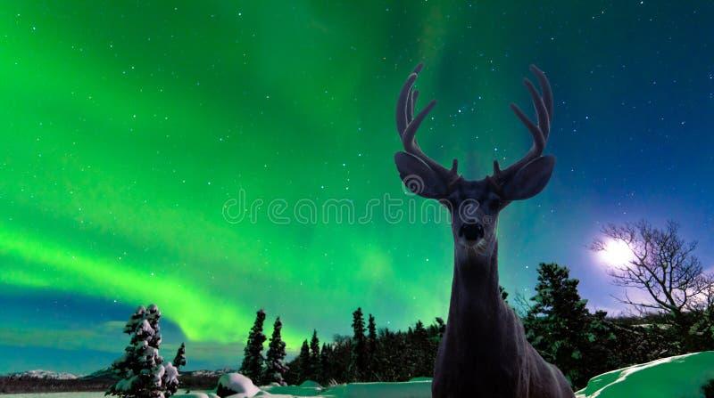 Muła rogacz i zorz borealis nad tajga lasem fotografia royalty free