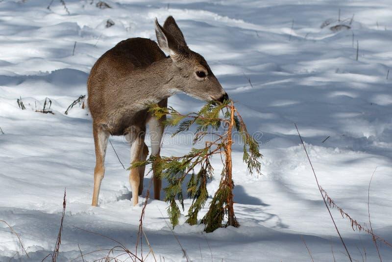 Muła rogacza źrebię obwąchuje krzaka w śniegu zdjęcie royalty free