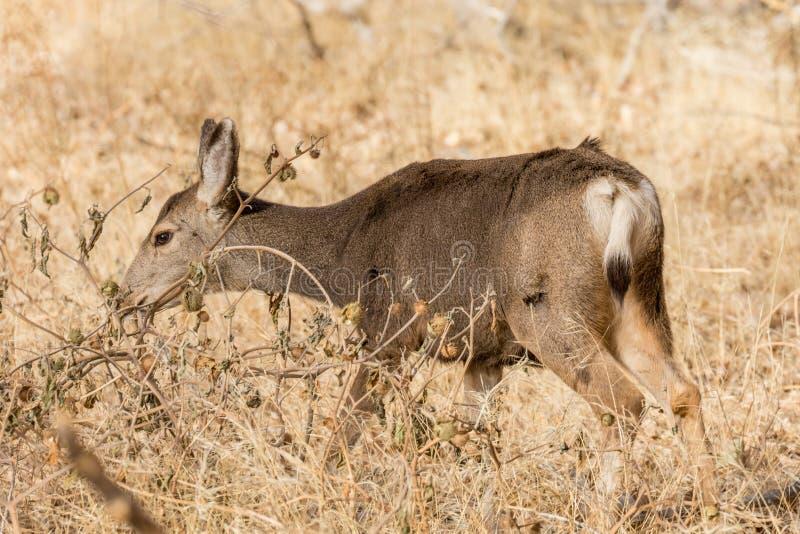 Muła rogacza królicy pasanie zdjęcie stock