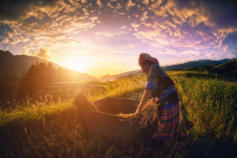 MU CANG柴,越南, 2017年9月21日:妇女农夫是h 免版税库存图片